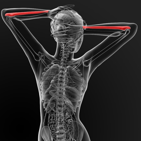 ulna: 3d render ilustration of the female ulna bone - back view Stock Photo