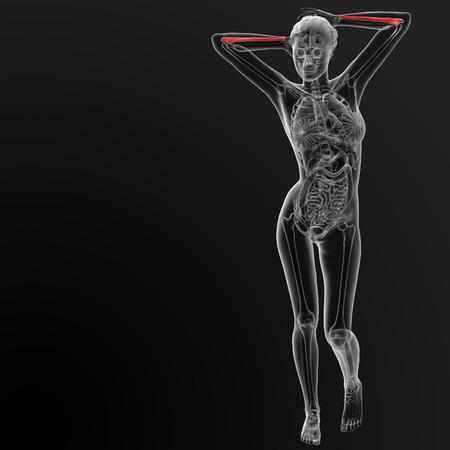 ulna: 3d render illustration of the female ulna bone - front view