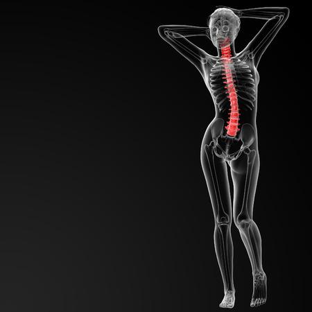 vertebral column: 3d rendered illustration of the female Vertebral column - front view