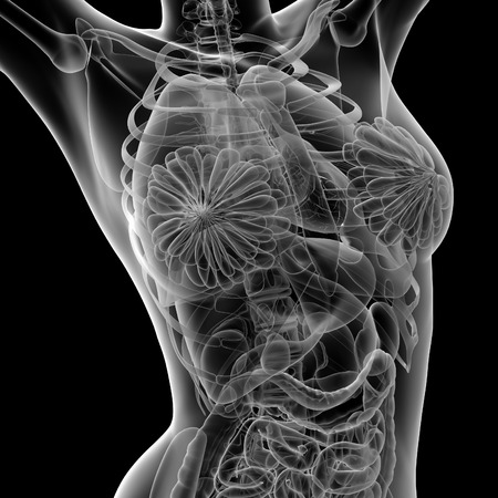 3d rendered illustration of the female anatomy - front view