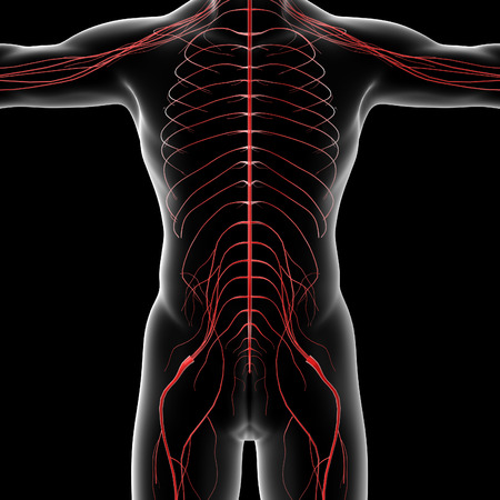sacral nerves: 3d rendered illustration of the male nervous system - front view