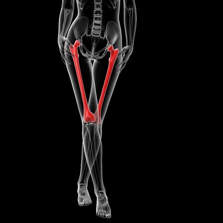 femur: 3d rendered illustration of the female femur bone - front view Stock Photo