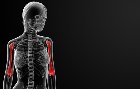 humerus: 3d rendered illustration of the female humerus bone - front view Stock Photo