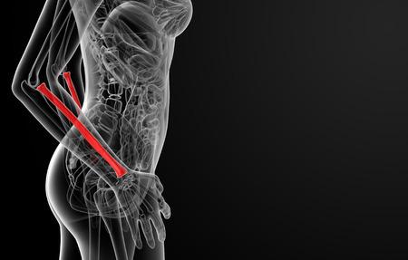raggio: Illustrazione di rendering 3D del raggio osso femminile - vista laterale Archivio Fotografico