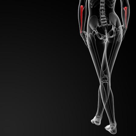 ulna: 3d rendered illustration of the female ulna bone - back view
