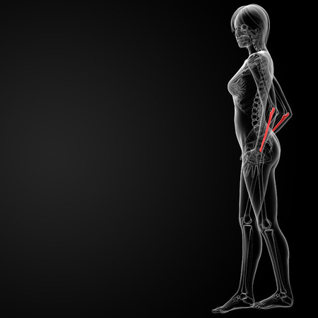 ulna: 3d rendered illustration of the female ulna bone - side view Stock Photo