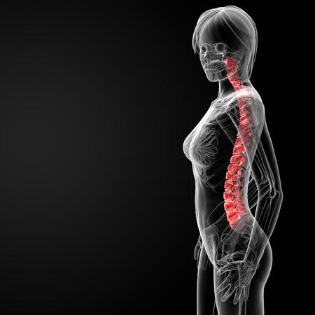 spinal disks: 3d rendered illustration of the female spine bone - side view