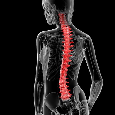 3d rendered illustration of the female spine bone - back view