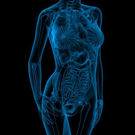 organos internos: 3d ilustraci�n m�dica de la anatom�a femenina - vista frontal
