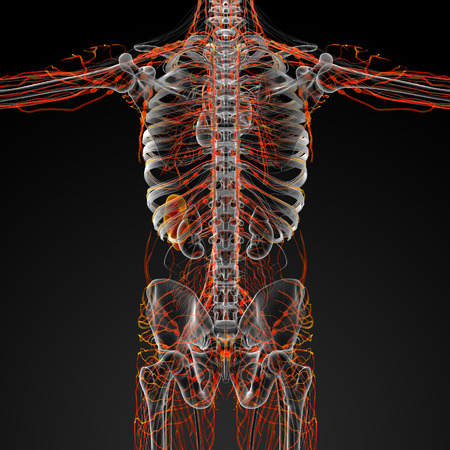 lymphatic: 3d render illustration of the male lymphatic system - back view