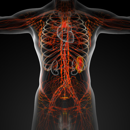 median: 3d render illustration of the male lymphatic system - front view