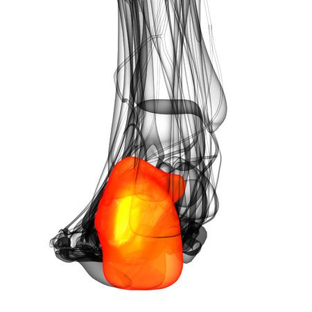 3d render illustration of the human calcaneus bone - back view illustration