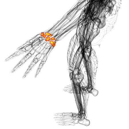 distal: 3d rendering illustrazione medica dell'osso carpale - vista dall'alto
