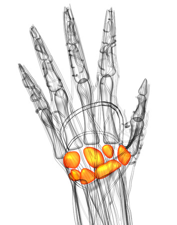 carpal: 3d render medical illustration of the carpal bone - top view Stock Photo