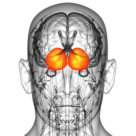 3d render medical illustration of the human brain cerebrum - back view illustration