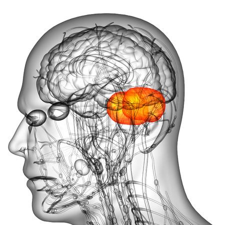 3d render medical illustration of the human brain cerebrum - side view illustration