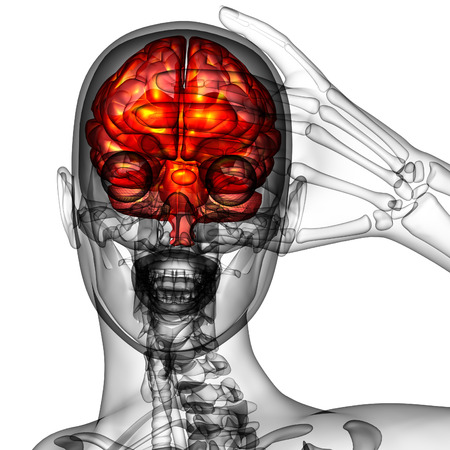 midbrain: 3d render medical illustration of the human brain - front view