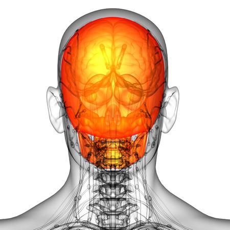 maxilla: 3d render medical illustration of the skull bone - back view