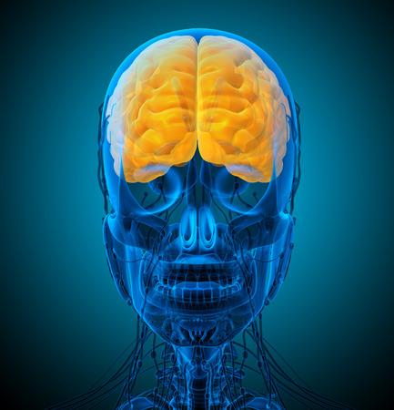 hipofisis: 3d ilustraci�n m�dica del cerebro - vista frontal