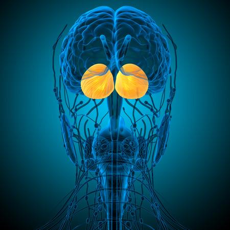hipofisis: 3d ilustraci�n m�dica del cerebro cerebro humano - vista posterior