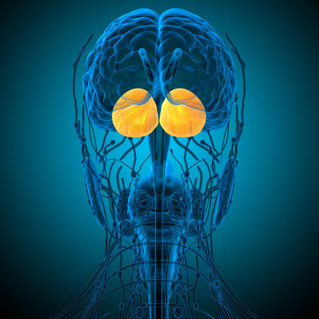 midbrain: 3d render medical illustration of the human brain cerebrum - back view