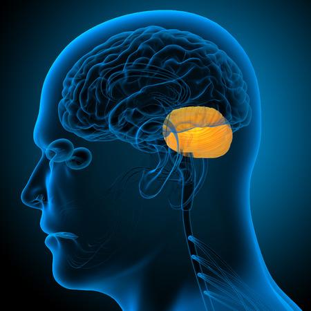 cerebrum: 3d render medical illustration of the human brain cerebrum - side view