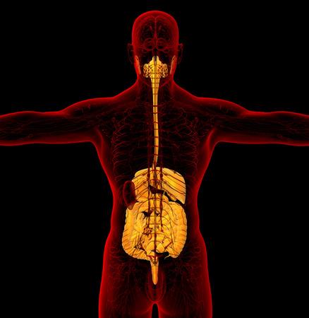 3d render medical illustration of the human digestive system - back view