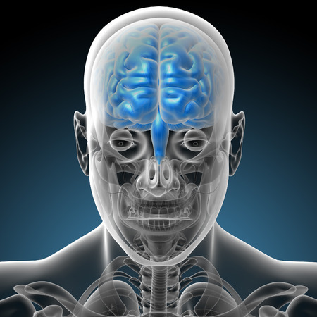 midbrain: 3d render medical illustration of the brain - front view Stock Photo