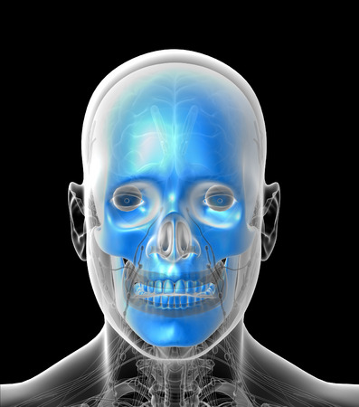 maxilla: 3D medical illustration of the human  skull - front view