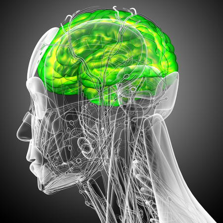 midbrain: 3d render medical illustration of the brain - side view