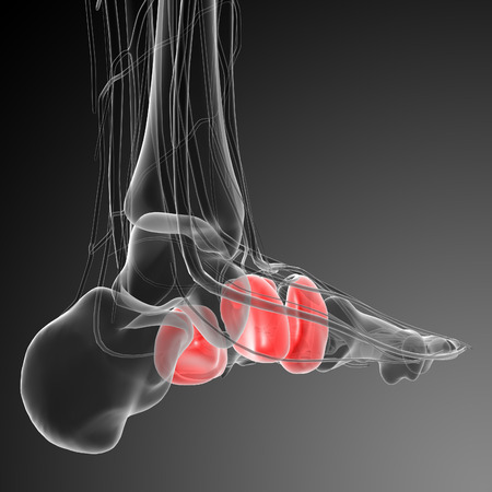 phalanx: 3d render medical illustration of the midfoot bone - back view Stock Photo