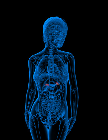 adrenal: 3d render medical illustration of the adrenal - front view Stock Photo