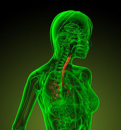 bronchi: 3d ilustraci�n m�dica de los bronquios humanos - vista lateral Foto de archivo