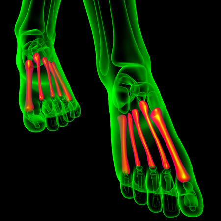 physiology: 3d render medical illustration of the metatarsal bones - front view