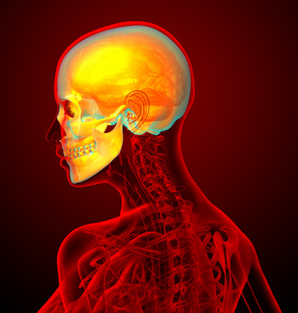 maxilla: 3d render medical illustration of the human sull - side view