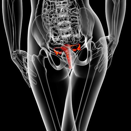 apparato riproduttore: 3D rendering illustrazione medica del sistema riproduttivo - Vista di dietro