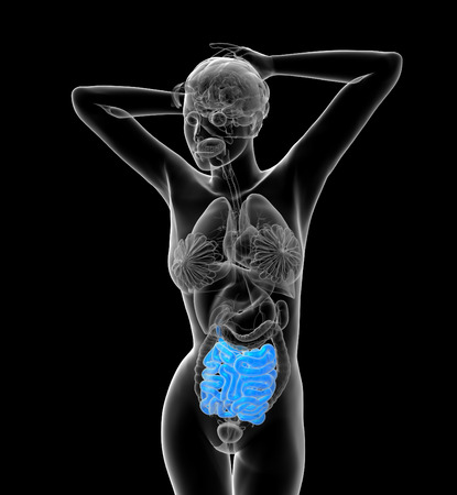 human small intestine: 3d render medical illustration of the human small intestine - front view