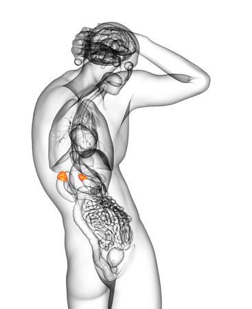 adrenal: 3d render medical illustration of the human adrenal glands - side view