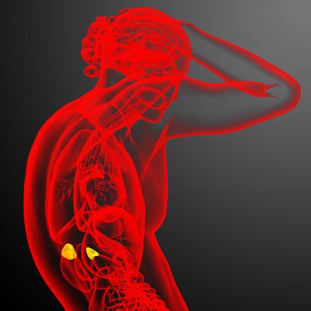 adrenal: 3d render medical illustration of the adrenal - side view