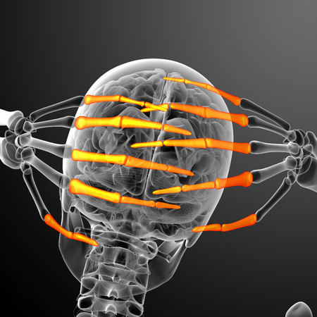 phalanx: 3d render illustration of the human phalanges hand - back view