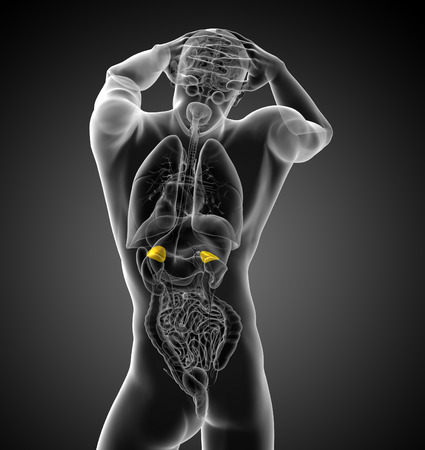 medulla: 3d render medical illustration of the human adrenal - back view Stock Photo