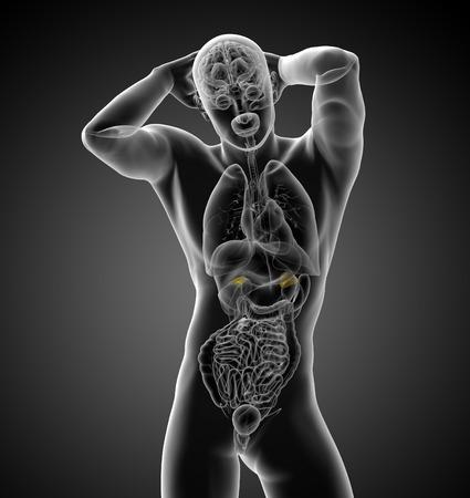 adrenal: 3d render medical illustration of the human adrenal - front view
