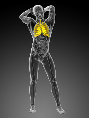 clavicle: 3d rendered illustration of the respiratory system - front view Stock Photo