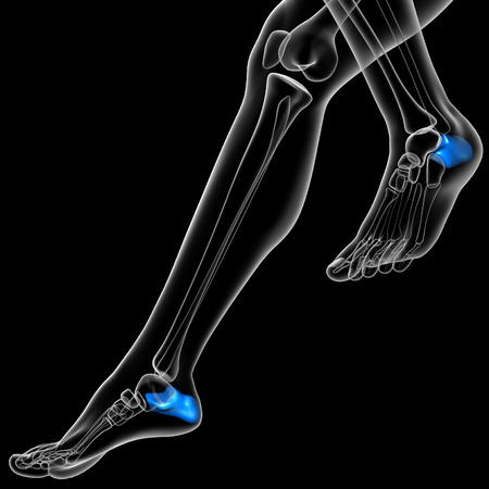 adult bones: 3d render medical illustration of the calcaneus - side view Stock Photo
