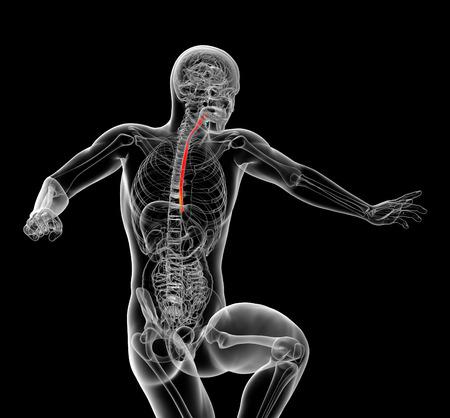 esofago: 3d rindi� la ilustraci�n del es�fago - vista frontal
