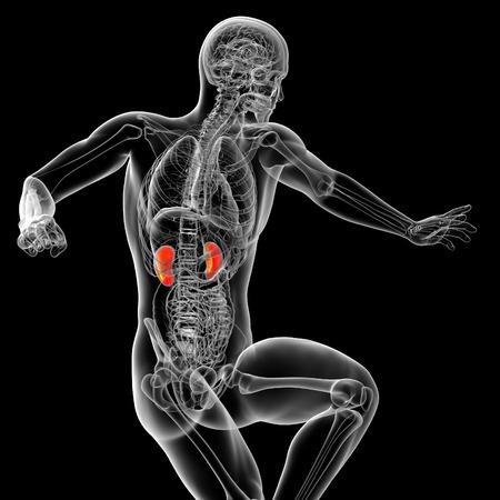 uretra: 3d ilustraci�n m�dica del ri��n - vista frontal Foto de archivo