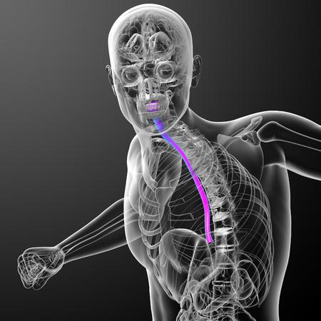 esofago: 3d ilustraci�n m�dica del es�fago - vista frontal