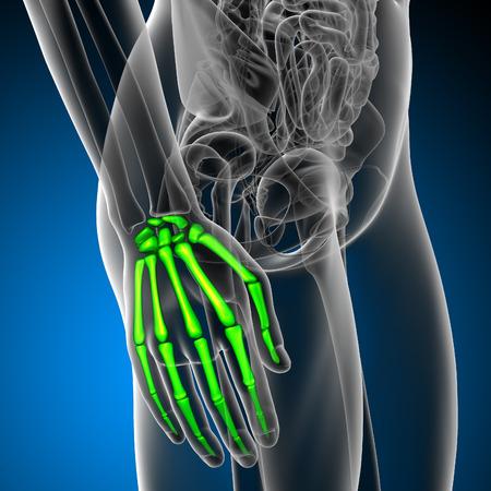 phalanx: 3d render medical illustration of the hand bone - side view Stock Photo