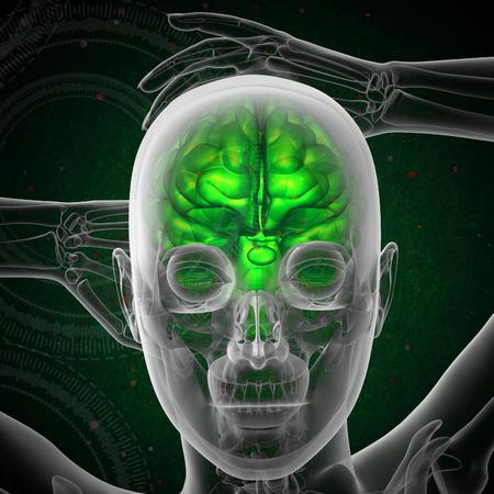 hipofisis: 3d ilustraci�n m�dica del cerebro humano - la vista frontal