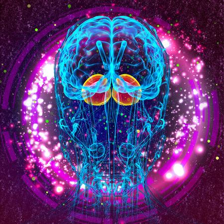 hipofisis: 3d ilustraci�n m�dica del cerebro cerebro humano - la vista frontal